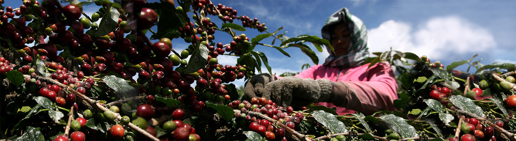 Harvesting Sumatran Coffee